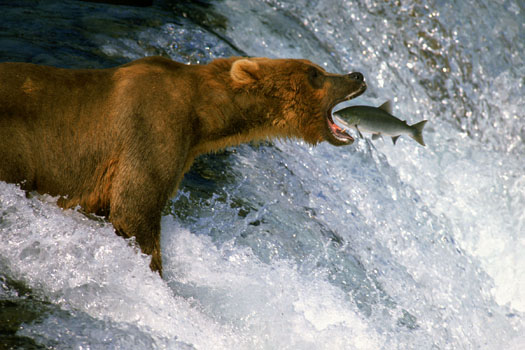 Are we there yet evil speculator for Bear catching fish
