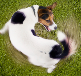 dog_chasing_own_tail