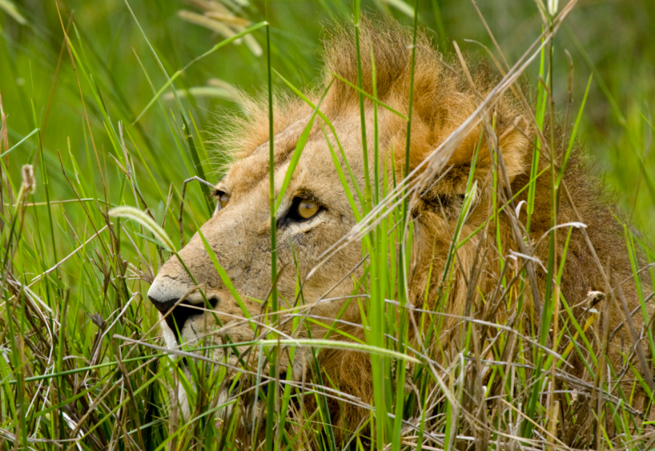 lion_laying_low