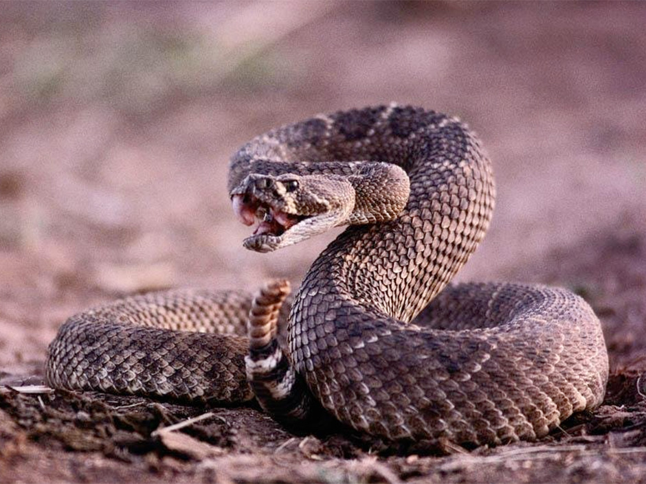 Coiled Up Ready To Strike Evil Speculator